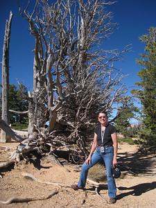 Bristlecone Pine, Bryce Canyon, Lois