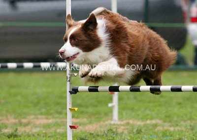 2010 Bendigo Dog Agility Trials