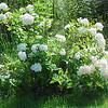 4527 Shiloh's bush Aug 6 2010