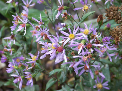 asters, Glacier National Park, Montana