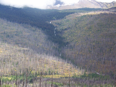 Trees killed by the Trapper Fire in 2003, The Loop, Glacier National Park, Montana