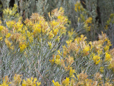 unidentified bush with yellow flowers, Ryegrass rest stop, I-90, Washington