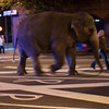 Elephant walk through Cambridge.