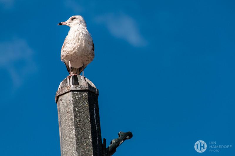 Flagler Seagull