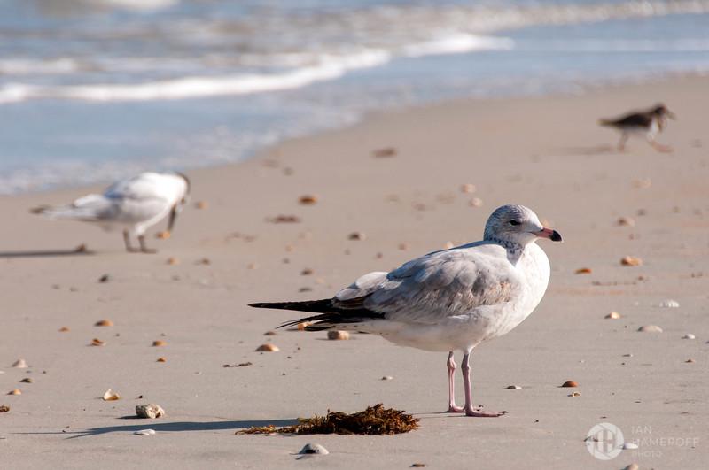 Flagler Seagulls