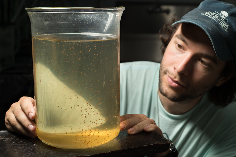 Graduate student Ben Szczygiel working with Dapnia   (Daphnia magna) in Great Lakes Center lab at Buffalo State College.