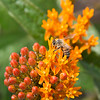 Honey bee on a butterfly bush planted as a part of new landscaping created to improve migratory bird habitat at the Great Lakes Center at Buffalo State College.