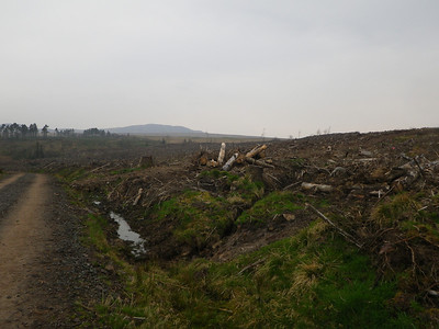 Woodland in the process of re-forestation can be pretty depressing, especially on a rainy day!