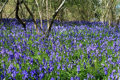 Bluebells at Badbury Rings