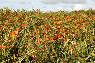 Crocosmia everywhere