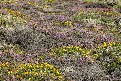 Blooming Heather and Broom