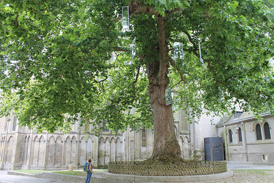 200 year old oak in Bayieux