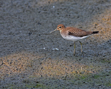 Solitary Sandpiper @ Glacier Ridge MP - August 2011