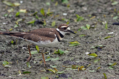 Killdeer @ Glacier Ridge MP -  July 2011