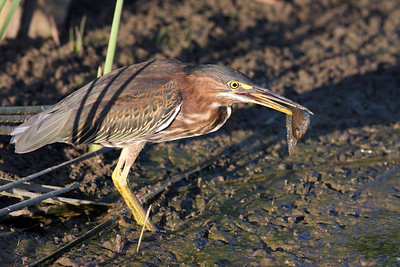 Green Heron @ Glacier Ridge MP - August 2011