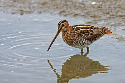 Wilson's Snipe @ Glacier Ridge MP - August 2011