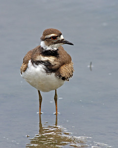 Killdeer @ Glacier Ridge MP - August 2011