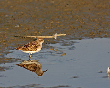 Least Sandpiper @ Glacier Ridge MP - August 2011