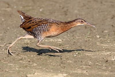 King Rail @ Glacier Ridge MP - August 2011