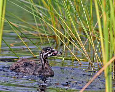 Pied Billed Grebe (Immature) @ Glacier Ridge MP -  July 2011