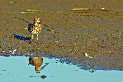 Wilson Snipe @ Glacier Ridge MP - August 2011