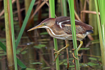 Least Bittern @ Glacier Ridge MP -  July 2011