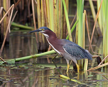 Green Heron @ Glacier Ridge MP -  July 2011