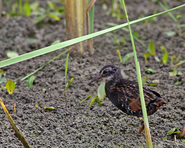 Virginia Rail (Immature) @ Glacier Ridge MP -  July 2011