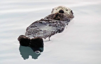 Seward Sea Otter Cropped