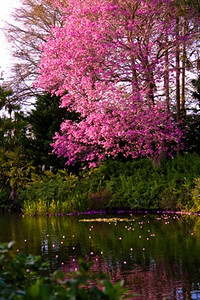 Pink Tree Reflected
