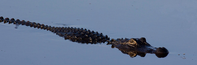 gator reflecting jpg