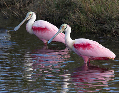 spoonbill pair cropped