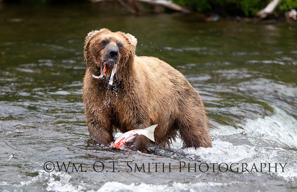 They eat 'em where they catch 'em so that a bigger bear does not steal the catch.