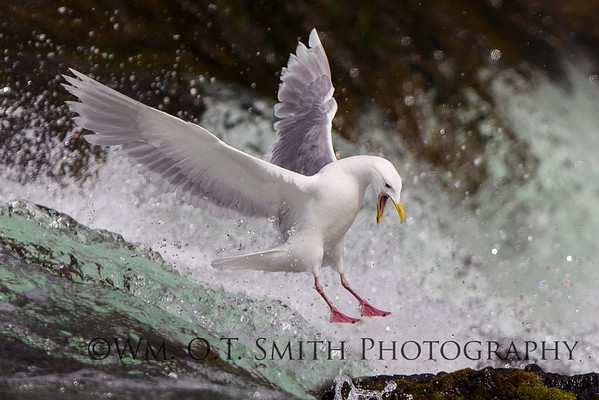 The gulls hang around to feast on the scraps left by the bears.  Saw this one coming in to land and snapped a quick shot.
