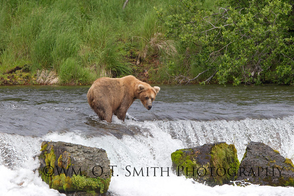 Waiting to catch a fish in midair as they jump the falls.