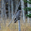 Great Gray Owl listening to the whispers of the forest