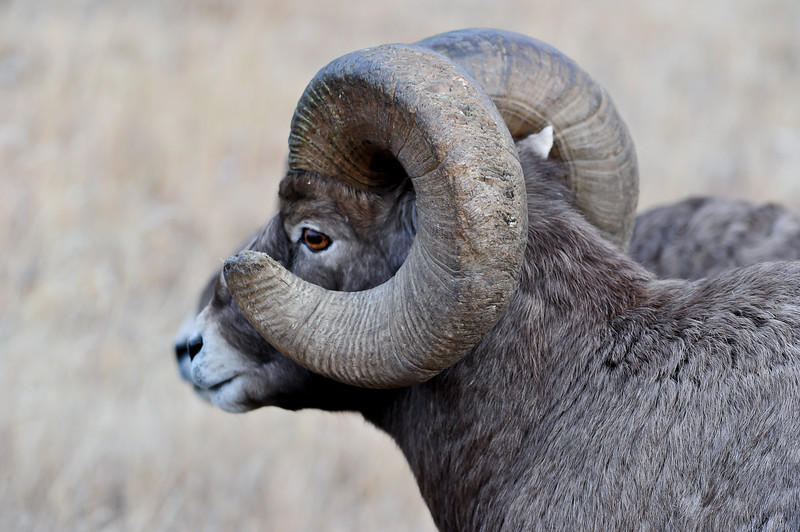 this old ram is majestic