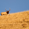 caought this bull elk before it went over the ridge