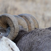 you can see the bulkiness of the large horns on the older males