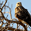 hawk in the morning sun light