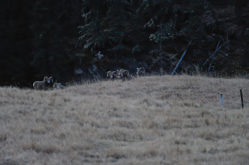You can see easy it is to miss them they blend in so well<br /> In about a week the rut will be in full force and we will go back to see if we can catch them fighting