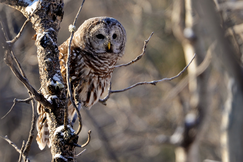 barred owl.....I posted all the pictures I was able to get of this little fellow before he flew off never to be found again....