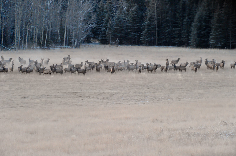 a herd of elk in a clearing....about 100 plus altogether