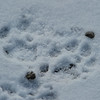 we missed seeing this one....but we saw the tracks of a Bob Cat