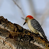 Female Red Bellied Woodpecker<br /> look at the detail on this one you can see it's tongue