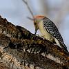 Female Red Bellied Woodpecker
