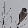 Northern Hawk Owl, back.....they have feathers on the back of their head  that look like  eyes similar to the Norhtern Pygmy-owl as you can see here.
