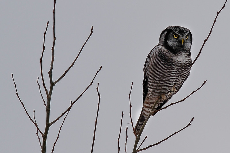 Northern Hawk Owl, front<br /> Light wasn't great in the morning but we were just happy to find it...
