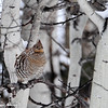 I think this is Ruffed Grouse just watching the world go by....