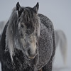 Three lonely cold and frosted horses
